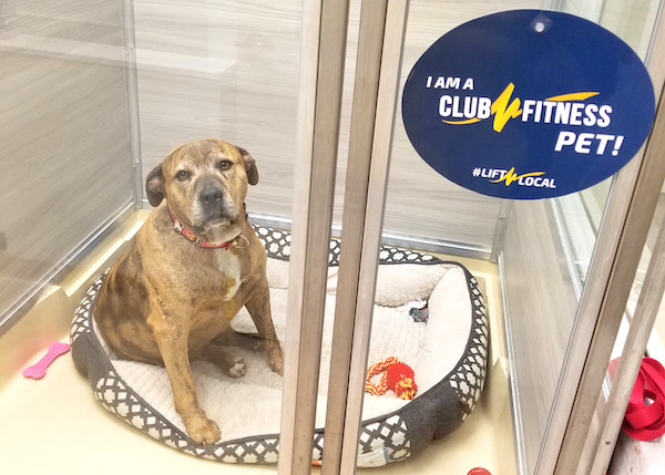 A cute dog with a a sticker on the kennel reading, I am a Club Fitness pet.